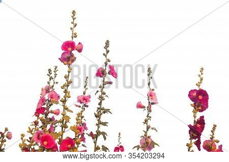 Hollyhock Or Alcea Flowers Isolated On White Background, Clipping Path Included.