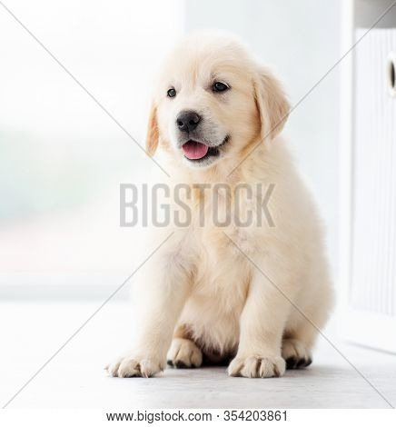 Sweet retriever puppy sitting indoors