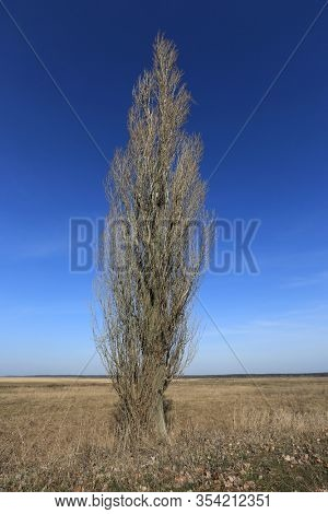 Spring landscape with leafless poplar tree in spring steppe un blue sky background