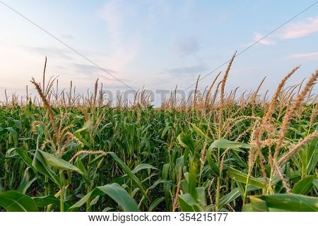 Beautiful Green Corn Field At Sunset. Corn Field At Sunset With Beautiful Sky. Organic Corn Field At
