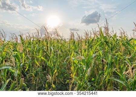 Beautiful Green Corn Field On A Sunny Summer Day With Blue Sky And Clouds. Cornfield On A Sunny Summ