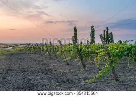 Beautiful Vineyard Rows At Sunset With Trees In The Background In Europe. Vineyards At Sunset With B