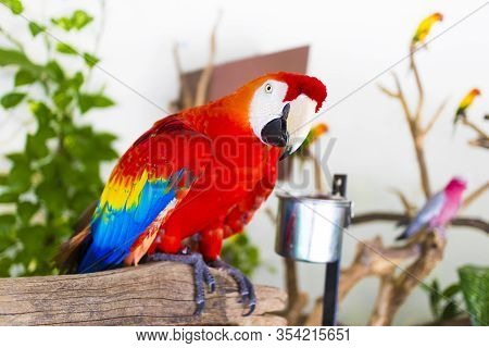 Portrait Of Big Beautiful Red, Blue And Yellow Parrot Inside Home, Indoors. Close Up Profile Photo O