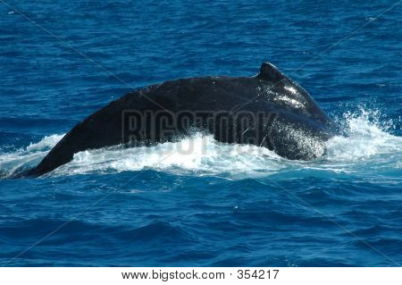 humpback whale surfacing in hervey bay, qld., australia ** Note: Slight blurriness, best at smaller sizes poster