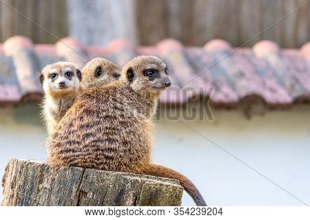 Common Meerkat (suricata Suricatta) Is Guarding On The Lookout Tower. Watchful Animal Is Standing On