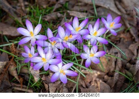 Crocus, Lots Of Crocuses Or Croci Is A Genus Of Flowering Plants In The Iris Family. A Single Group