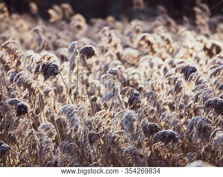 Dry Reeds On The Lake , A Layer Of Reeds, Cane Seeds. Golden Reed Grass In Winter In The Sun. Abstra