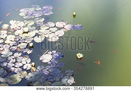 The Photo Shows A Natural Water Lily Pond With Goldfishes In The Sun