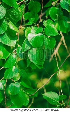 fresh foliage of the linden tree , selective focus