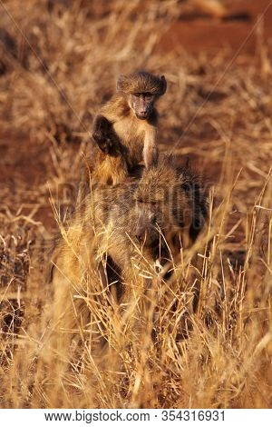 The Mother With Her Baby Of Chacma Baboon (papio Ursinus) Sitting On Her Back In The Savanna