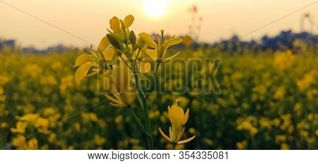 Oilseed Mustard Crop Cultivation In Winter Season