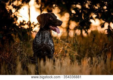 Sitting Hunting German Shorthaired Pointer At Sunset Forest