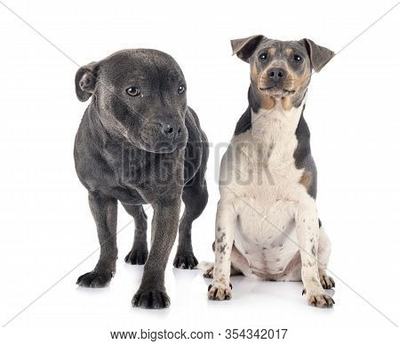 Brazilian Terrier And Staffy In Front Of White Background