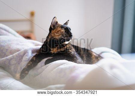 Close Up Of Tortoiseshell Cat. Tortoiseshell Cat Portrait. Close Up Of Tortoiseshell Cat Lying On Be