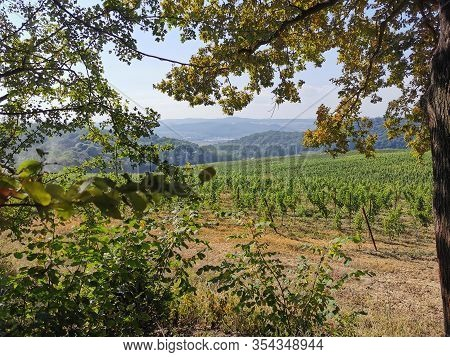 Field With Vines. The Vine Is Native To The Mediterranean Region, Central Europe And Southwestern As