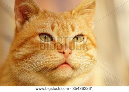 Cute Ginger Cat Face Closeup. Cheshire Cat