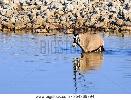 Isolated Gemsbok Oryx Wallowing In A Waterhole To Keep Cool Fromthe Scorching Sun With A Good Reflec