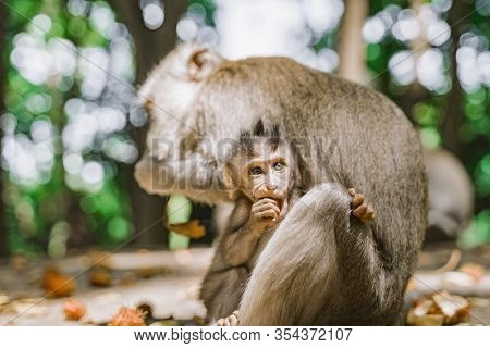 Funny Baby Monkey And His Mom Are Eating Fruit. Baby Monkey Hiding Behind His Mom. The Monkey Holds
