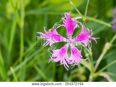 Pink Fringed Dianthus Superbus.botanist Theophrastus Gave These Flowers The Genus Name Dianthus, Whi