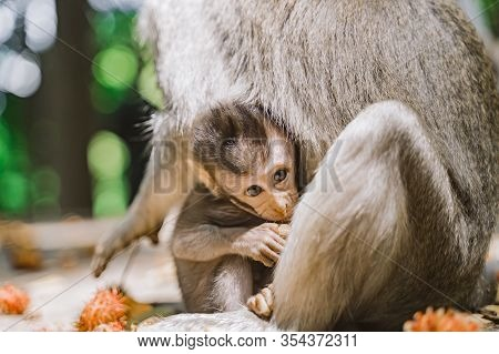 Portrait Of A Cute Baby Monkey And His Mother. Baby Monkey Looks Directly Into The Camera Hiding Beh
