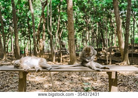 Funny Monkeys Relax On A Bench In The Monkey Forest In Ubud. A Monkey Is Sitting And A Monkey Is Lyi