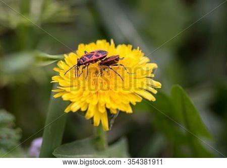 Two Firebugs, Pyrrhocoris Apterus, Feeding On A Beautiful Yellow Dandelion Taraxacum Officinale Flow