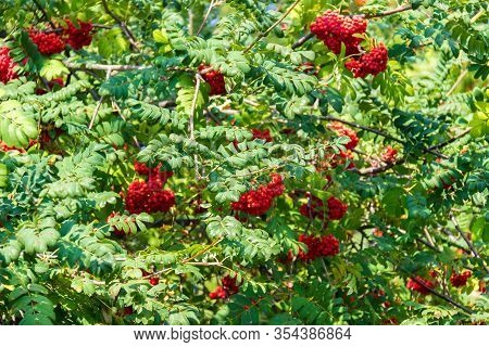 A Lot Of Branches Of Ripe Red Rowanberries In The Sunbeam In Autumn. Bunches Of Fresh Berries