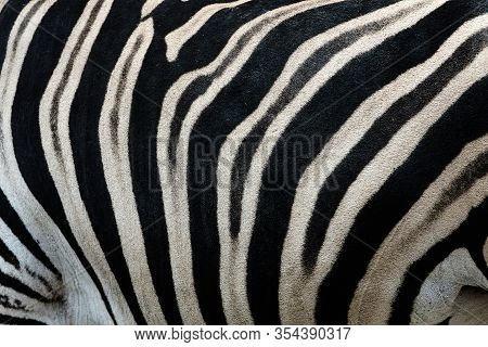 Real Leather Chapman's Zebra (equus Quagga Chapmani). Black And White Stripes Form A Camouflage Text