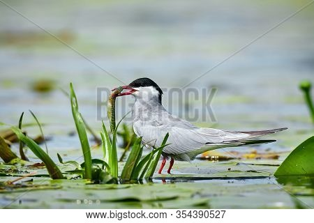 Whiskered Tern (chlidonias Hybrida) With Fish In Its Beak. Bird Watching In The Danube Delta, Romani