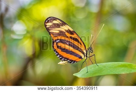 Tiger Longwing Butterfly Resting On A Green Leaf