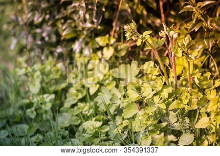 Beautiful Herbs And Wild Plants In The Garden In Summer