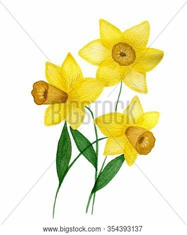 Watercolor Yellow Daffodils Flowers Isolated On White Background, Beautiful Hand Painted Spring Daff