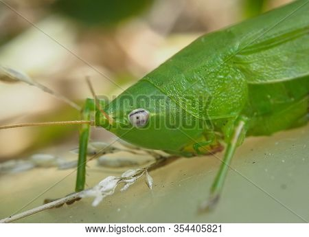 Selective Focus And Extreme Close Up View Of A Green Grasshopper.