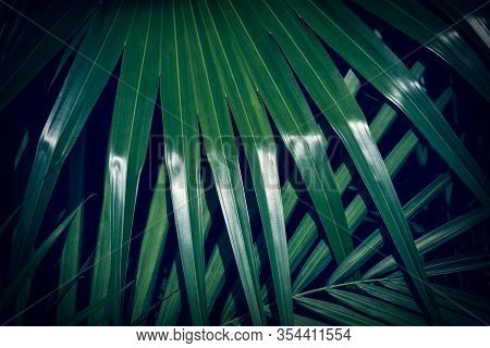 Dark Green Palm Leaf With Sunlight Reflection. Natural Background.