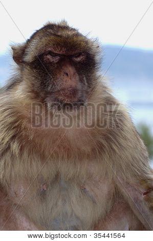 Gibraltar's Ape