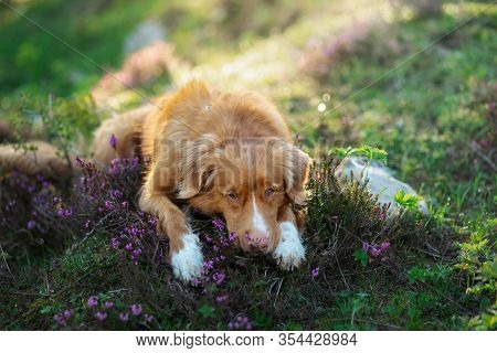 Dog In Heather Colors. Portrait Of A Pet In Nature. Nova Scotia Duck Tolling Retriever In The Beauti
