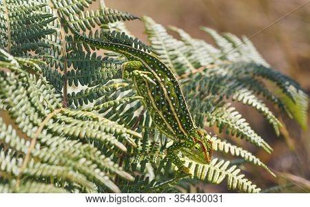 Tiny Jewelled Campan Chameleon - Furcifer Campani - Walks On Green Fern Leaves Lit By Sun. Most Cham
