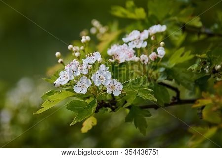 Crataegus Laevigata, Flowering Spring Stream, Flowers Of Midland Hawthorn, Beautiful White Flowers O