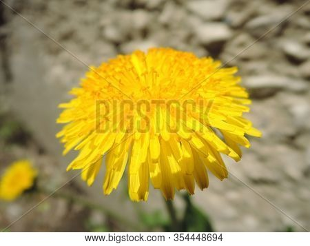Macro Photo Of A Dandelion Plant. Dandelion Plant With A Fluffy Yellow Bud. Yellow Dandelion Flower