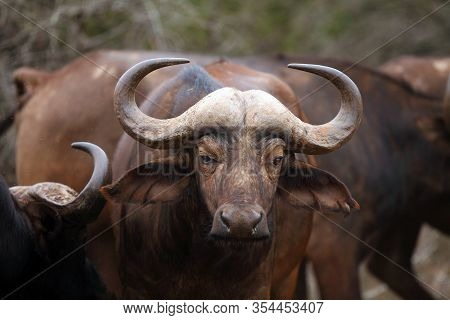 The African Buffalo Or Cape Buffalo (syncerus Caffer), Portrait Of An Adult Animal.