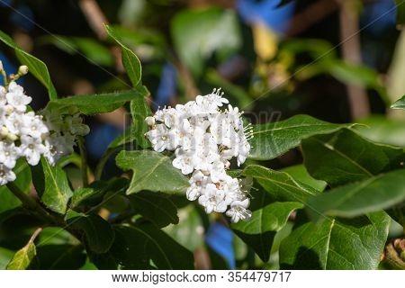 Flowers Of Japanese Privet In A Garden During Spring