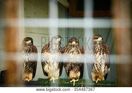 Birds Op Pray In Captivity, Four Hawks Sitting In A Cage.