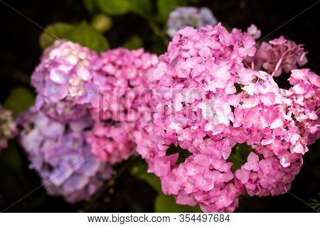 Hydrangea Macrophylla - Beautiful Bush Of Hydrangea Flowers In A Garden.blooming Flowers Hydrangea A