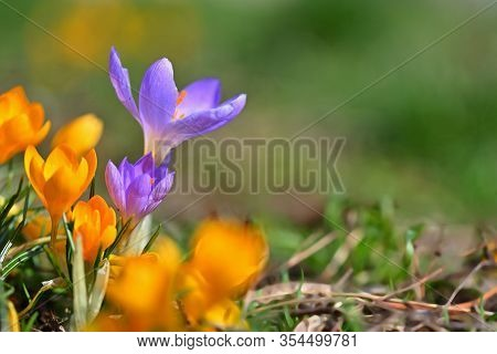 Spring Flowers. Beautiful Colorful First Flowers On Meadow With Sun.