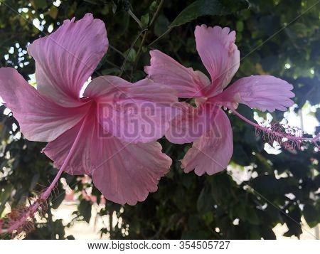 Una Hermosa Flor Cubana Común En Parques Y Jardines