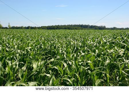 Rural Landscape With Young Green Maize Field In Bavaria, Maize Field With Young Plants