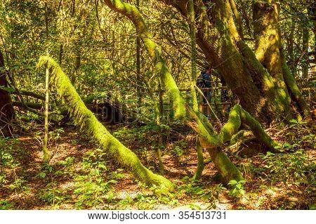 Trunks Of Moss And Lichen Like Trees In The Garajonay National Park In La Gomera. April 15, 2019. La