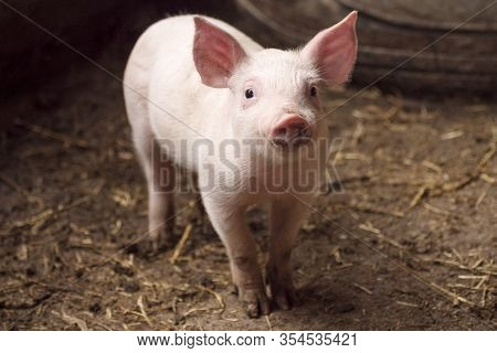 Cute Little Pig Or Piglet Is Standing In Pigpen, Agricultural Pig Breeding Concept.