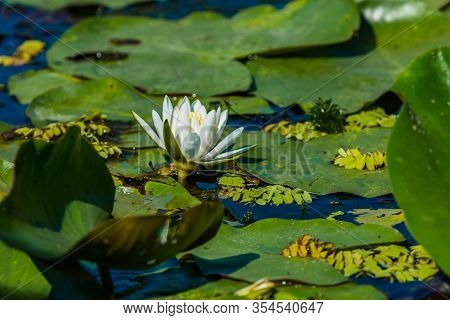 Beautiful White Water Lily And Green Liliy Pads On The Water, Delta Dunarii, Danube Delta, Romania