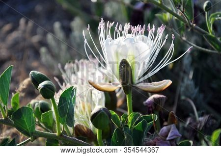 Closeup. Blooming Flowers Of Caper Shrub (capparis Spinosa). The Caper Bush (known Also As Flinders